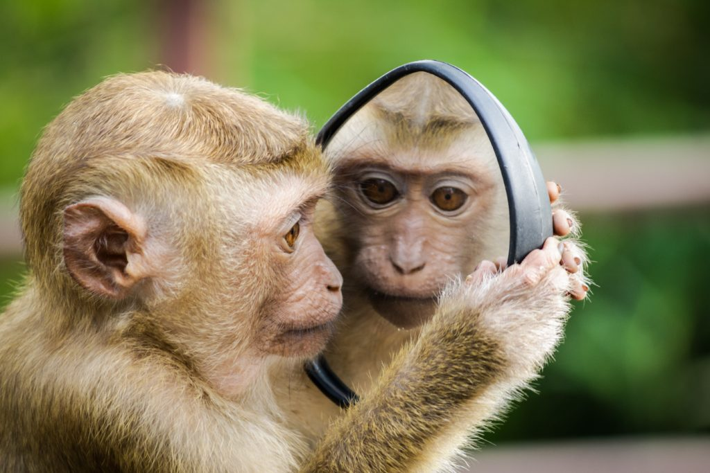 monkey looking in mirror, self-reflection